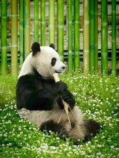 El #OsoPanda comiendo #Bambú