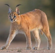 Pretty Cats, Beautiful Cats, Big And Beautiful, Caracal Cat, Animal Drawings, Drawing Animals, Big Cats, Drawing Reference, Wildlife