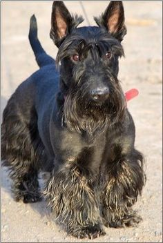 Should you go running with a Scottish Terrier? | Scottish Terrier Dog Puppy #Scottie