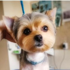 The Popular Pet and Lap Dog: Yorkshire Terrier - Champion Dogs Yorkshire Terrier Haircut, Yorkshire Terrier Puppies, Yorkshire Macho, Dog Grooming Styles, Grooming Yorkies, Dog Grooming Shop, Grooming Salon, Yorkie Haircuts, Yorshire Terrier
