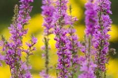 Gartenzauber | Blutweiderich (Lythrum salicaria) - Gartenzauber