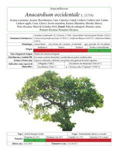 Pagina muestra Anacardium occidentale 1