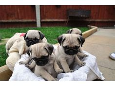 Pug+Information+and+Facts | Four Pug Puppies Free For Adoption - Australia, QLD - Pets For Sale