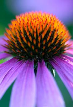Coneflower - there are so many types of coneflowers, you'll never get bored with them.