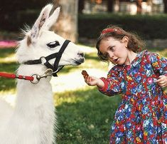 Little Paris feeds one of the Llama's at the Neverland Valley Ranch.