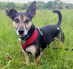 Jack Russell Jake has been waiting some months for a home now. He really needs owners who are willing to invest some time into helping him become the best dog he can be so he can show off his comical, energetic and loving personality. http://www.battersea.org.uk/apex/webprofile?aid=311413