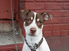 TO BE DESTROYED 05/18/14 Brooklyn Center -P  My name is HAZEL. My Animal ID # is A0998918. I am a female white and brown brittany and pit bull mix. The shelter thinks I am about 1 YEAR  I came in the shelter as a STRAY on 05/06/2014 from NY 11208, owner surrender reason stated was STRAY. https://www.facebook.com/photo.php?fbid=799951596684388&set=a.611290788883804.1073741851.152876678058553&type=3&theater