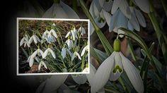 Первые Весенние Цветы. Подснежники и другие