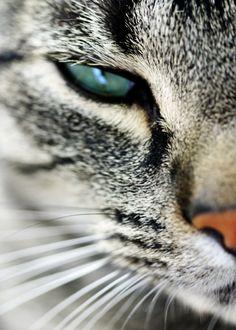 Beautiful tabby that looks just like my cat! @Melissa Trader  @Donna Mattingly Hayden