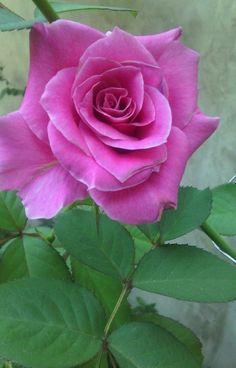 Beautiful Rose Flowers, Pretty Roses, Beautiful Flowers, Lavender Roses, Purple Roses, Pink Flowers, Rosa Rose, Rose Pictures, Single Rose