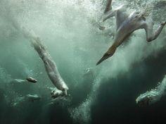 Os ganhadores da edição deste ano de um dos principais prêmios de fotografia de natureza da Grã-Bretanha, o British Wildlife Photography Awards, foram anunciados esta semana. O vencedor do principal prêmio foi Matt Doggett com a imagem de aves mergulhando na costa da Escócia, intitulada Jacuzzi de ganso-patola.