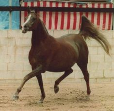 27 Ibn Galal V (Ibn Galal x 10 Hosna), 1973 chestnut mare. Foundation mare of Simeon Stud. Dam of Simeon Safanad (x Sankt Georg) and Simeon Sheba (x Ra'adin Royal Star), who was the dam of Simeon Sehavi (x Asfour).