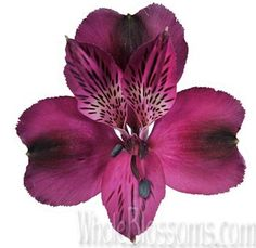 Purple Alstroemeria Flowers