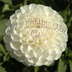 """L'ANCRESSE (BA) Introduced in 1982. The best white ball we have ever grown. It is great for exhibition. 4"""" flowers on a bush of 4'. Recommended as a cut flower."""