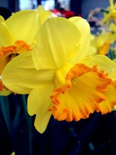 Once I had a secret love, that lived within this heart of mine Daffodil 'Mary Bohannon' Narcissus