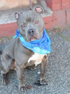 Safe ❣ CORDON BLUE – A1069823  MALE, GRAY / WHITE, AM PIT BULL TER MIX, 2 yrs OWNER SUR – EVALUATE, NO HOLD Reason MOVE2PRIVA Intake condition UNSPECIFIE Intake Date 04/09/2016, From NY 11225, DueOut Date 04/09/2016..SAFE
