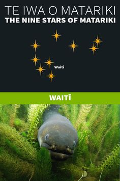 Te Iwa o Matariki | The Nine Stars of Matariki – Kiwi Conservation Club Maori Words, Maori Symbols, Marine Plants, Pepper Tree, The Pleiades, Winter Sky, The Nines, Edible Plants, Nature Reserve