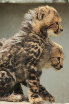 """Cheetah cubs, love watching these on Animal Planet """"Big Cat Diary"""" Nature Animals, Animals And Pets, Beautiful Cats, Animals Beautiful, Big Cats, Cats And Kittens, Baby Cheetahs, Cheetah Cubs, Gato Grande"""