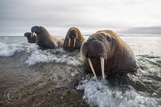Emerging from the Sea - Walrus emerge from the sea, heading towards their colony in Svalbard.