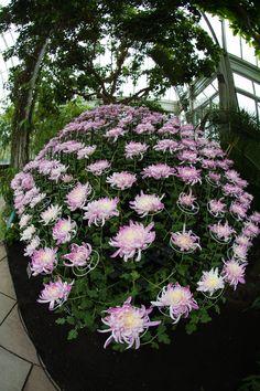 KIKU [Chrysanthemum] Exhibit at The New York Botanical Garden [NYBG], NY - Flickr - Photo Sharing!