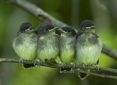 4 baby Peewees, that the actual name : )