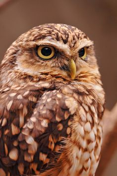 South American owl, burrowing owl