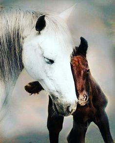 Mom and baby horse. Mare is a beautiful white and foal is bay in color. Touching loving nuzzle moment caught on camera. Precious.