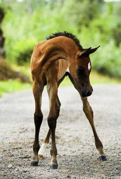 HF Karthago (Rohara Arian Spartan x Baguette) The Arabian Horse - Drinkers of the Wind