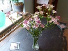 Astrantia - these flowers remind me of a friend who isn't with us any more