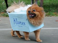 This is gonna be my Bichons next Halloween costume! Kleenex!!