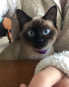 It's the weekend! And this weekend it's Siamese Kittens, Kittens Cutest, Cats And Kittens, Cute Cats, Funny Cats, Pretty Cats, Beautiful Cats, Two Faced Cat, Himalayan Cat