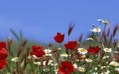 de vară, margarete, iarbă, cer, flori, Maci, urechi