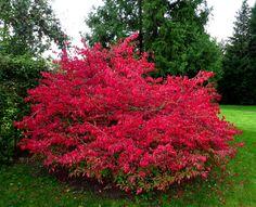 Vinget Benved. Vinget benved i efterårsløv. Latinske navn: Euonymus alatus.