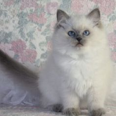 I like cats that look like this