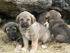 """Résultat de recherche d'images pour """"cachorros de mastin"""""""
