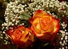 Red Tip White With Yellow Rose | my favorite roses: yellow with red tips (E knows this already!!)