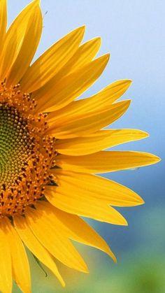 New wallpaper iphone sunflower aesthetic Ideas Paper Sunflowers, Sunflowers And Daisies, Love Flowers, Yellow Flowers, Beautiful Flowers, Sun Flowers, Wildflowers, Sunflower Quotes, Sunflower Pictures