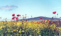 Plantwatch: The greatest wildflower show in Britain - The Hebrides and Northwest coast of Scotland are home to of the world's machair, unusually fertile grassland disappearing rapidly with climate change Wild Flower Meadow, Wild Flowers, Wildwood Flower, Australian Wildflowers, Outer Hebrides, Countries Of The World, Worlds Of Fun, Britain, Scenery