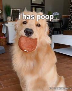 This is Tucker. He loves his poop. via: @tuckerbudzyn .⠀⠀ Follow @bullymake for more adorable dogs!⠀⠀⠀⠀⠀⠀ .⠀ #dogsofinstagram #retriever #retrievers #goldenretriever #puppy #dogs #dogsofig #dogstagram #puppylove #golden #goldensofinstagram #retrieversofinstagram