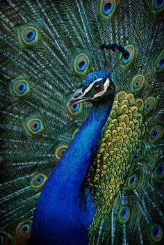 Colors of a Peacock [Pavo cristatus]