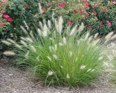 Dwarf Ornamental Grasses Ornamental grass hameln dwarf fountain grass pennisetum this is little bunny dwarf fountain grasspennisetum alopecuroides qty 3 front flowerbed in front of closet window 3 front flowerbed under tree closest to workwithnaturefo