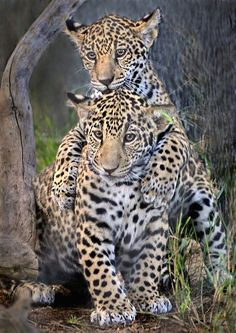 "❤ Two Leopard Cubs: 1st Cub: ""Hey Bro., that's a curious looking thing; any idea what it is?""  2nd Cub: ""No Bro., I don't!"" ❤"