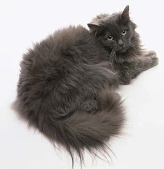 ee85e44d660053 tiffany · Unique CatsCat BreedsCat ...