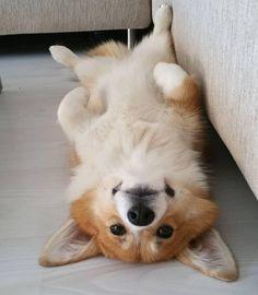 Cute Corgi Dog Pictures You Will Love - ♥ cute animals ♥ - Hunde bilder Cute Puppies, Cute Dogs, Dogs And Puppies, Awesome Dogs, Baby Dogs, Funny Dogs, Corgi Dog, Dog Cat, Corgi Pembroke