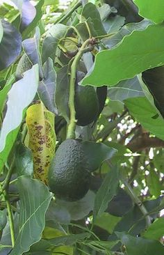 hass avocado tree see more ideas about avocado tree and delicious fruit. Black Bedroom Furniture Sets. Home Design Ideas