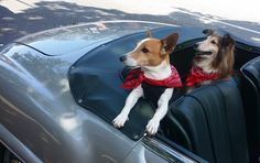 Dogs in Cars Getting Coffee - part two