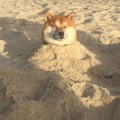 shiba inu discovered by ebru on We Heart It Cute Puppies, Cute Dogs, Dogs And Puppies, Doggies, Chien Shiba Inu, Animals And Pets, Baby Animals, Cute Creatures, Dog Memes