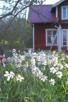 I visited Sweden with the Scouts for the Irish Explorer Belt. Summernight in Sweden: The light, the house, the life! Swedish Cottage, Red Cottage, Swedish House, Scandinavian Garden, Visit Sweden, Swedish Style, The Life, Daffodils, Country Life