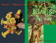 A Commiphora leptophloeos (Mart.) J.B.Gillett é uma espécie pertencente a família botânica Burseraceae, que ocorre no Cerrado e Ca...