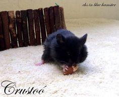 Crustoó chs in blue hamster Blue, Animals, Animales, Animaux, Animal, Animais